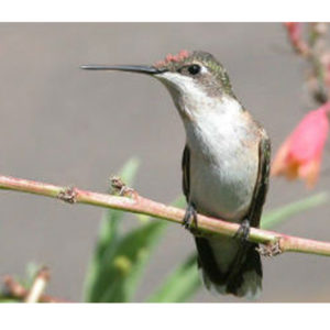 Lunch with the Masters: Hummingbirds of Texas